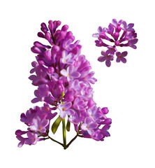 Vector set of branches of purple lilac flowers isolated on a white background. Photo realism.