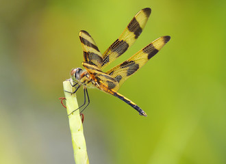 Focus Stacked Image of a Halloween Pennant Dragonfly