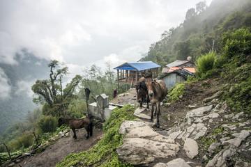 Esel im Himalaya Annapurna Trekking Pfad