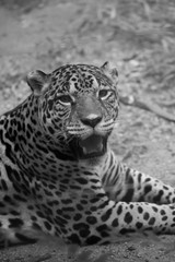 Black and whiye A close-up photo of a leopard  in ground