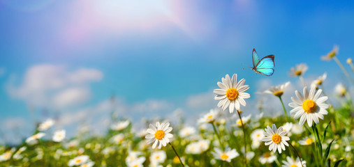 Zelfklevend Fotobehang Madeliefjes Chamomiles daisies macro in summer spring field on background blue sky with sunshine and a flying butterfly , panoramic view. Summer natural landscape with copy space.