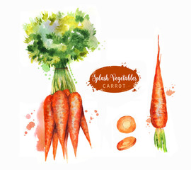Hand drawn watercolor illustration of fresh orange ripe carrots with splashes. Isolated on the white background. Vegetarian food product