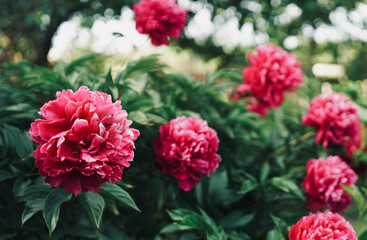 Beautiful large crimson pink peony flowers on a bush in the garden close-up macro with soft focus and beautiful bokeh. Bright colorful artistic image.