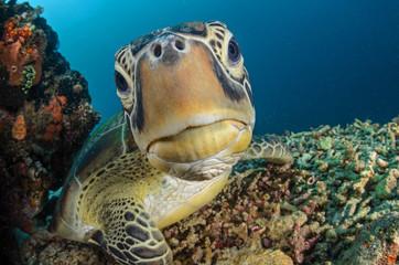 Fotorolgordijn Schildpad Green Turtle