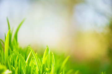 Green grass. Selective focus and very shallow depth of field.