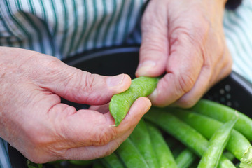 Shelling peas in a colander