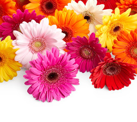 Foto op Canvas Gerbera Gerbera daisy flowers isolated on white background