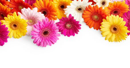 Garden Poster Gerbera Gerbera flowers isolated on white background