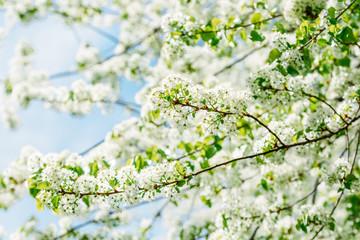 White Apple Tree Flowers In Spring