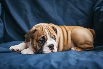 Sweet little english bulldog puppy,selective focus