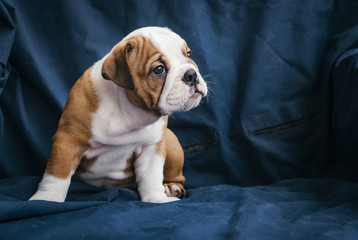 Profile portrait of cute english bulldog puppy,selective focus