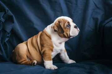 English bulldog puppy posing on the blue background,selective focus