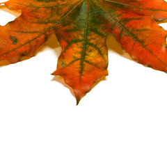 Part of autumn multicolored maple-leaf