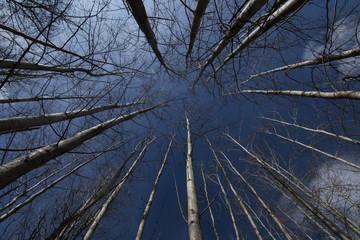 Aspen (Populus tremula) Trees.