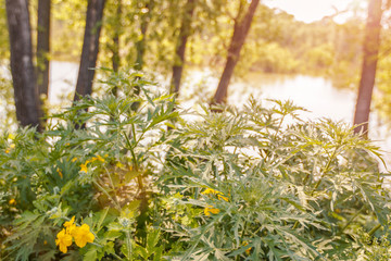 Nettle and celandine growing on the shore of the lake at sunset