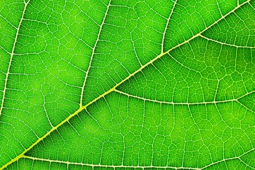 Fototapete - detail of green mulberry leaves texture - background