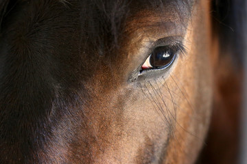 Canvas Prints Horses Eye of a horse close-up.