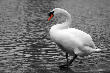 walking white swan in water