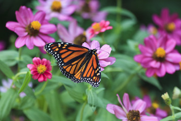 Monarch Butterfly on Pink and Purple Zinnias