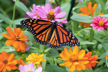 Monarch Butterfly on Yellow and Orange Zinnias