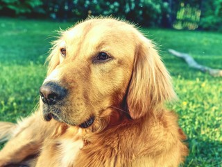 Portrait of calm Golden Retriever. Healthy body of smart lying dog