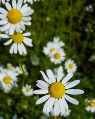 Patch of Chamomile Flowers in Garden