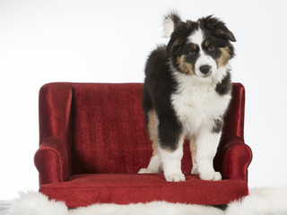 Fluffy puppy standing on a red sofa. Australian shepherd dog on a couch, isolated on white. Funny pup, 11 weeks old.