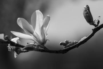Magnolia black and white