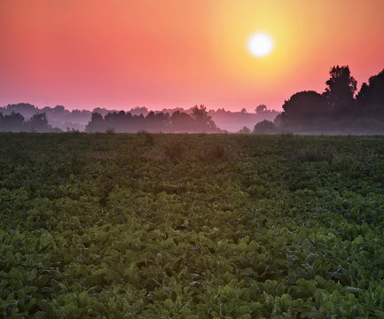 Field of the red beetroot in a sunset or sunrise