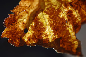dry faded autumn leaf in the sunlight