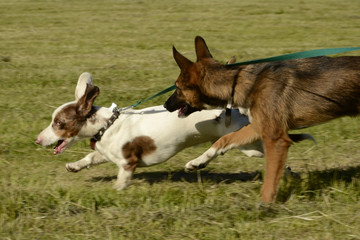 Dogs play with each other. Merry fuss puppies. Aggressive dog. Training of dogs