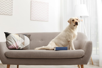 Adorable yellow labrador retriever on couch indoors