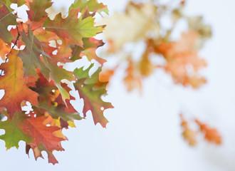 Autumn oak leaves arrangement on a defocused leaf background