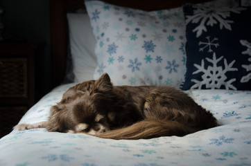 chihuahua dog sleeping on bed in winter