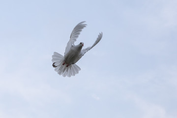white feather homing pigeon flying mid air against light blue sky