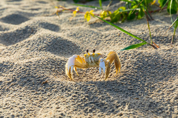 Ghost crab on sandy beach shore in the Outer Banks, North Carolina
