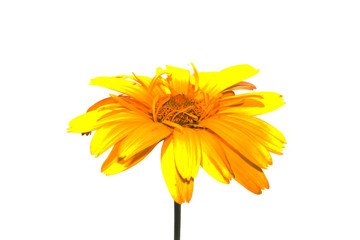 Foto op Canvas Gerbera flower isolated on white background