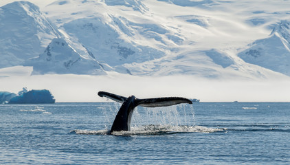 Photo sur Aluminium Antarctique Humpback whale, Antarctica