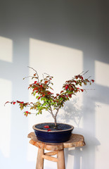 Bonsai tree turning red in autumn