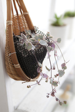Tendril Ceropegia Woodii In The Bamboo Basket With Wire