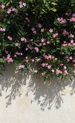 Pink oleander bush hanging over a wall
