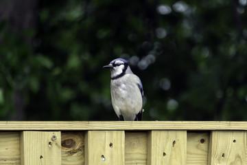 a blue jay sits on a fence