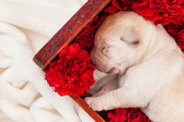 Newborn labrador puppy dog sleeping in flower box - closeup