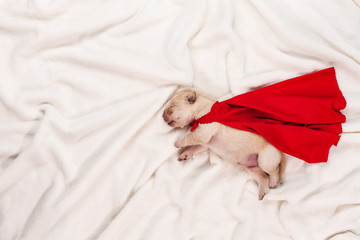 Newborn labrador puppy with red superhero cape sleeping on white background