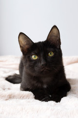 Portrait of funny little black kitty on a pink blanket, front view