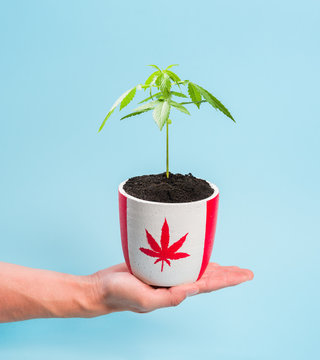 Man holding potted marijuana suggesting its legal use in Canada