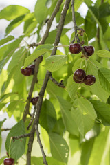 Ripe cherries on a tree in detail with a branch.