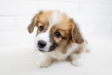 Cute Puppy Welsh Corgi Pembroke  is looking at camera and begging. Beautiful puppy dog on a white background.