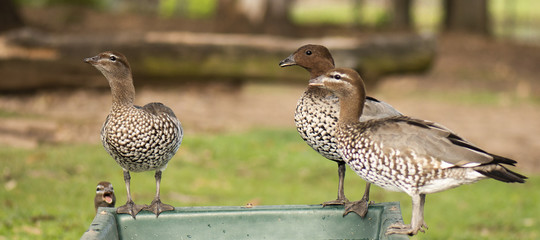 Ducks on the farm drinking water.