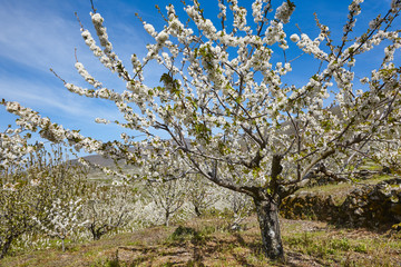 Cherry blossom in Jerte Valley, Caceres. Spring in Spain
